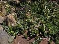 Carpet clover, Trifolium monanthum ssp. monanthum (16924931574).jpg