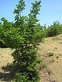 Carpinus orientalis Crimea.JPG