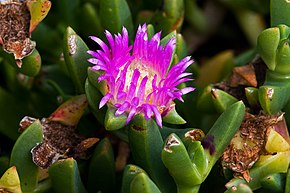 alt=Description de l'image Carpobrotus rossii.jpg.