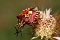Carpocoris Pudicus.jpg