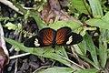Castilia perilla f. perilla (Nymphalidae Argynninae Melitaeini) — male (44261503141).jpg