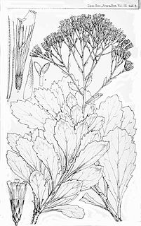 <i>Catamixis</i> genus of plants