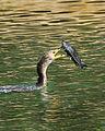 Catfish to go - Flickr - Andrea Westmoreland.jpg