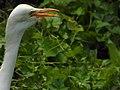 Cattle egret (Bubulcus ibis) 7.jpg