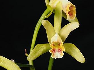 Cattleya mooreana - Image: Cattleya mooreana (15346290357)