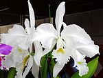 Cattleya warneri forma alba Wedding Bells.jpg