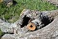 Cavités dans des bûches de peuplier blanc (43).JPG