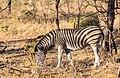 Cebra de Burchell (Equus quagga burchellii), parque nacional Kruger, Sudáfrica, 2018-07-24, DD 01.jpg