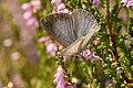 Celastrina.argiolus.female.jpg