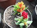 Celosia argentea-yercaud-salem-India.JPG