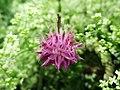 Centaurea scabiosa (Chaber driakiewnik).jpg