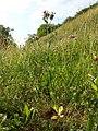 Centaurium erythraea (subsp. erythraea) sl6.jpg