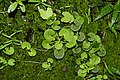 Centella asiatica 6116.jpg