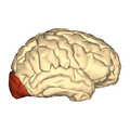 Cerebrum - occipital lobe - lateral view.png