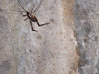 Ceuthophilus stygius - Kentucky cave cricket, Ceuthophilus stygius