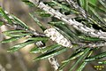 Cf. Common spruce bell (9367037139).jpg