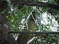 Chêne d'Allouville-Bellefosse 05.jpg