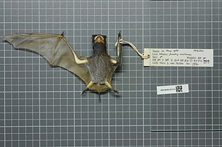 Ansorges free-tailed bat species of mammal