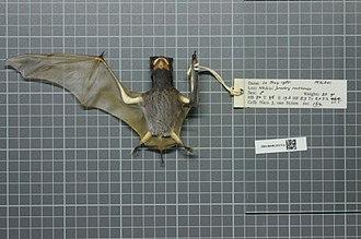 Ansorge's free-tailed bat - Image: Chaerephon ansorgei