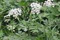 Chaerophyllum hirsutum (Wimper-Kälberkropf) IMG 20806.JPG