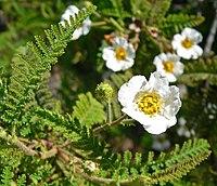 Chamaebatia australis 2