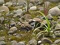 Charadrius dubius P4222977.jpg