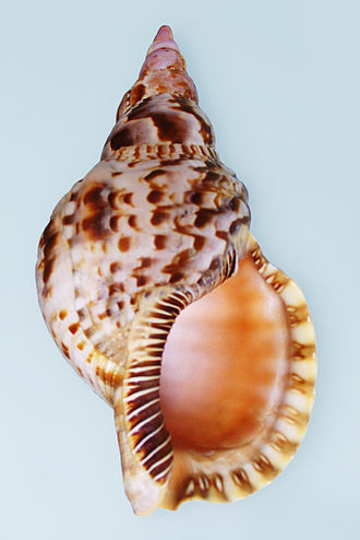 Charonia - Apertural view of a shell of Charonia variegata