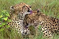 Cheetah Brothers AdF.jpg