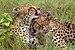 Cheetah Brothers AdF.jpg