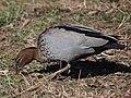 Chenonetta jubata -Canberra, Australia -male-8.jpg