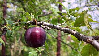 Cherry plum (15281175643).jpg