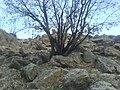 Chestnut Tree, درخت ارغوان در منطقه زلال انگیز - panoramio.jpg