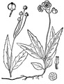 Chimaphila maculata (L.) Pursh Striped prince's pine.tiff