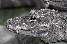 An up-close view of the left side of the Chinese alligator's head