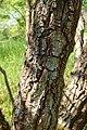 Chionanthus virginicus kz03.jpg