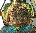 Chlaenius nigricornis prosternum.jpg