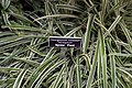 Chlorophytum comosum variegatum var. variegatum 0zz.jpg
