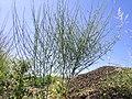 Chondrilla juncea plant2 (12111956015).jpg