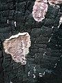 Chondrostereum purpureum 58287474.jpg