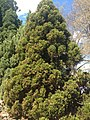 Christmas tree, Bowral.jpg