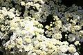 Chrysanthemum Brigitte 2zz.jpg