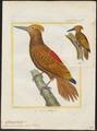 Chrysocolaptes aurantius - 1700-1880 - Print - Iconographia Zoologica - Special Collections University of Amsterdam - UBA01 IZ18700177.tif
