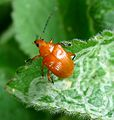 Chrysomelidae, Eumolpinae - Flickr - gailhampshire.jpg