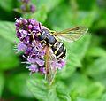 Chrysotoxum festivum - Flickr - gailhampshire (6).jpg