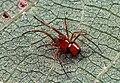 Chrysso.albipes.male.-.tanikawa.jpg