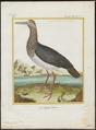 Ciconia nigra - 1700-1880 - Print - Iconographia Zoologica - Special Collections University of Amsterdam - UBA01 IZ17600041.tif