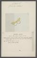 Cidaria - Print - Iconographia Zoologica - Special Collections University of Amsterdam - UBAINV0274 058 01 0087.tif
