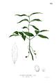 Cinnamomum burmanni Blanco1.115.png