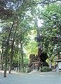 Cinnamomum camphora 20100612 (Kinomiya Shrine) (C).jpg