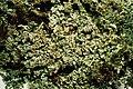 Cladonia parasitica-3.jpg